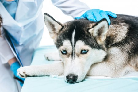 cropped image of female veterinarian examining husky isolated on white background