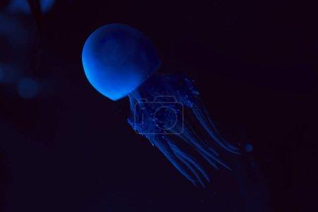 Photo pour Méduses au néon bleu clair sur fond foncé - image libre de droit