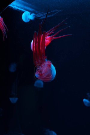Photo for Jellyfishes with colored neon lights on dark background - Royalty Free Image