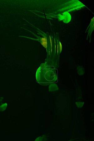 Photo pour Concentration sélective des méduses avec lumière verte au néon sur fond foncé - image libre de droit