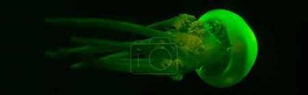 Photo pour Photo panoramique de méduses dans la lumière verte du néon sur fond noir - image libre de droit
