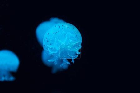 Photo pour Méduses tachetées en néon bleu lumière sur fond noir - image libre de droit