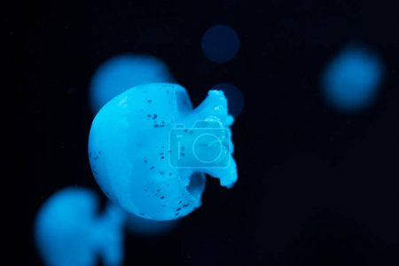 Photo pour Selective focus of spotted jellyfishes in blue neon light on black background - image libre de droit