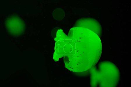 Concentration sélective de méduses tachetées au néon vert sur fond noir