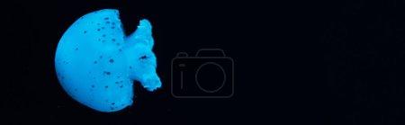 Photo pour Photo panoramique de méduses tachetées en bleu néon lumière sur fond noir - image libre de droit