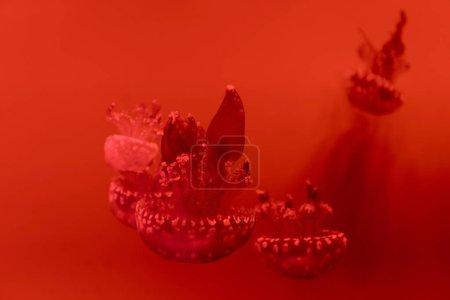 Photo pour Concentration sélective de méduses tachetées sur fond rouge - image libre de droit