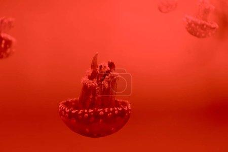 Concentration sélective de méduses tachetées sur fond rouge