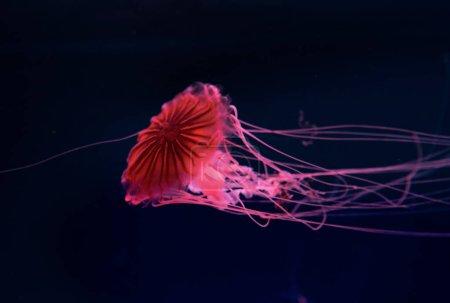 Photo pour Méduse de la boussole au néon rose lumière sur fond foncé - image libre de droit