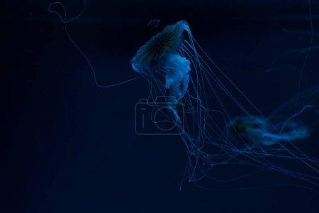 Photo pour Focalisation sélective des méduses de la boussole dans un néon bleu lumière sur fond foncé - image libre de droit