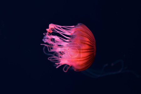 Foto de Compass jellyfish with pink neon light on dark background. - Imagen libre de derechos
