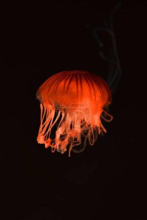 Photo pour Méduse de la boussole avec lumière néon rouge sur fond foncé - image libre de droit