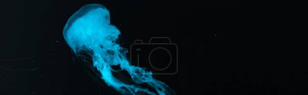 Panoramic shot of jellyfish in blue neon light on black background