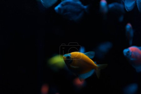 Selective focus of aquarium fishes with neon light on black background