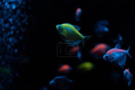 Photo pour Concentration sélective des poissons avec lumière néon sur fond noir - image libre de droit