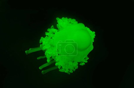 Photo for Cassiopea jellyfish with green neon light on black background - Royalty Free Image