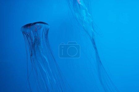 Photo pour Les méduses de mer japonaises sur fond bleu - image libre de droit