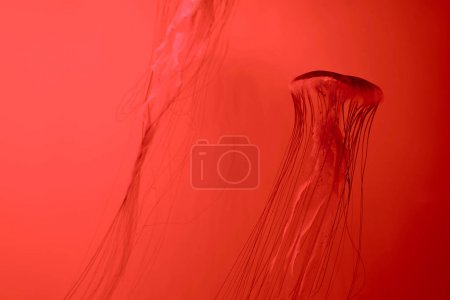 Foto de Dos medusas de mar japonesas en el fondo rojo - Imagen libre de derechos