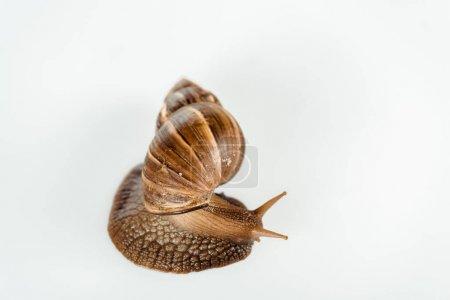 Photo pour Vue de dessus d'escargot brun visqueux isolé sur blanc - image libre de droit