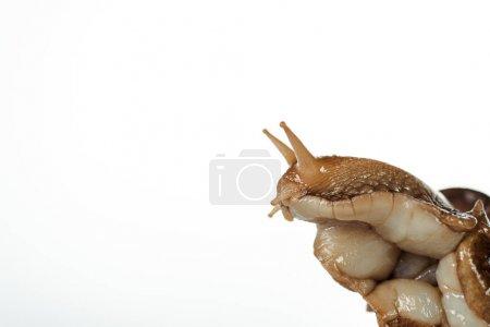 Photo pour Vue rapprochée de la tête d'escargot brun visqueux isolé sur blanc - image libre de droit