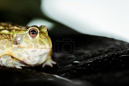Photo pour Vue rapprochée de la jolie grenouille verte sur feuille humide - image libre de droit