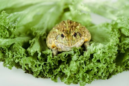 Photo for Close up view of cute green frog on lettuce leaves isolated on white - Royalty Free Image