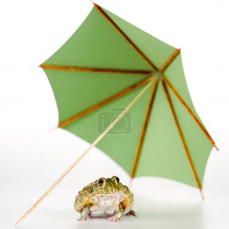 Photo pour Foyer sélectif de grenouille verte mignonne sous petit parapluie en papier sur fond blanc - image libre de droit