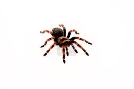 araña peluda negra y roja aislada en blanco