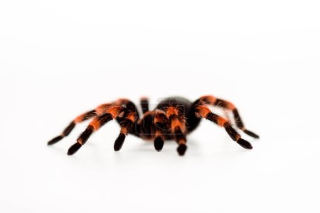 black and red hairy spider isolated on white