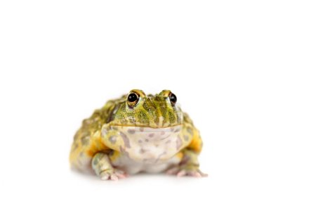 Photo for Cute green frog isolated on white - Royalty Free Image