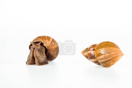 Photo for Slimy brown snails isolated on white - Royalty Free Image