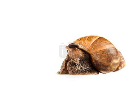 Photo pour Escargot brun visqueux isolé sur blanc - image libre de droit