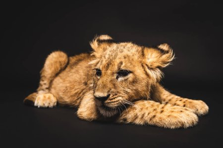 Photo for Cute lion cub lying isolated on black - Royalty Free Image