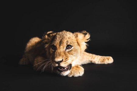 Photo for Adorable lion cub lying isolated on black - Royalty Free Image