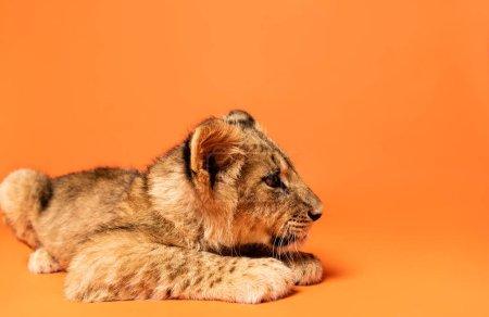 cute lion cub lying on orange background