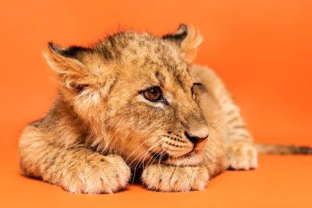 Photo pour Lionceau mignon couché sur fond orange - image libre de droit