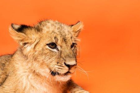 Photo pour Vue rapprochée de mignon lionceau couché sur fond orange - image libre de droit