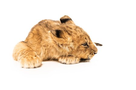 Photo for Adorable lion cub lying isolated on white - Royalty Free Image