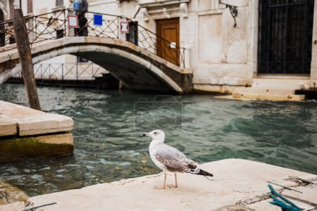 Photo for Selective focus of seagull and bridge above canal on background in Venice, Italy - Royalty Free Image
