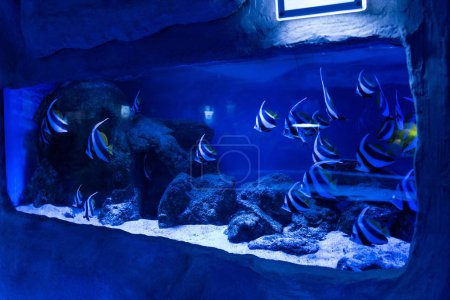 Photo pour Poissons nageant sous l'eau dans un aquarium avec éclairage bleu et pierres - image libre de droit