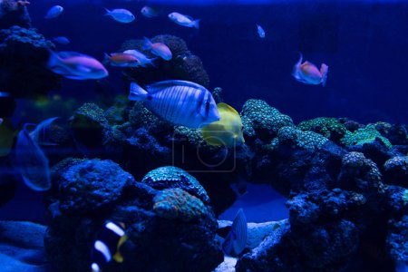 Photo for Fishes swimming under water in aquarium with blue lighting - Royalty Free Image