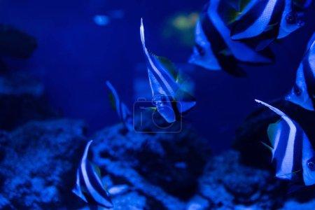 Photo pour Focalisation sélective des poissons rayés nageant sous l'eau dans un aquarium à éclairage bleu - image libre de droit