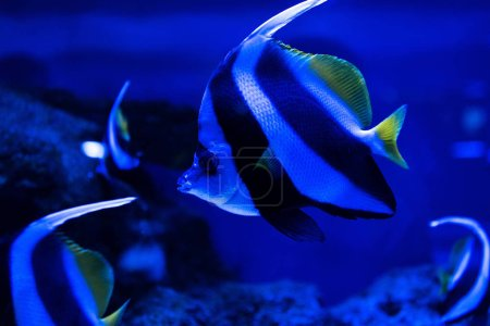Photo for Close up view of striped fish swimming under water in aquarium with blue lighting - Royalty Free Image
