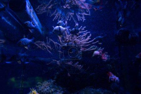 Photo pour Poissons nageant sous l'eau dans un aquarium à éclairage bleu - image libre de droit