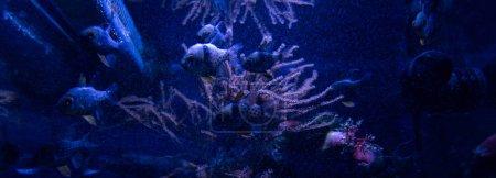 Photo pour Poissons nageant sous l'eau dans un aquarium avec éclairage bleu, photo panoramique - image libre de droit