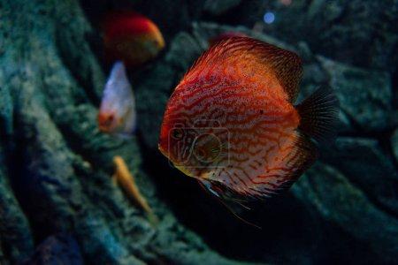 Photo pour Focalisation sélective des cyprins dorés nageant sous l'eau en aquarium - image libre de droit