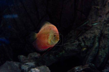 Photo pour Cyprin doré nageant sous l'eau en aquarium - image libre de droit