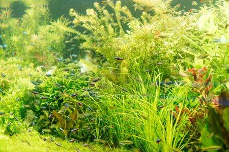 Photo pour Petits poissons nageant sous l'eau parmi les algues vertes en aquarium - image libre de droit