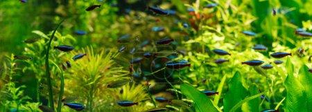 Photo pour Petits poissons nageant sous l'eau parmi les algues vertes en aquarium, prise panoramique - image libre de droit