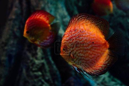 Photo pour Focus sélectif de poissons rouges nageant sous l'eau dans un aquarium sombre - image libre de droit