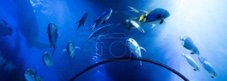 Photo pour Poissons nageant sous l'eau dans un aquarium avec éclairage bleu, vue panoramique - image libre de droit